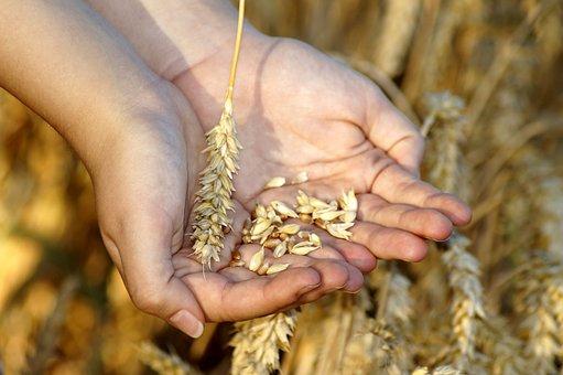 Wheat, Hands, Grain, Grains, Keep, Cereals, Bread