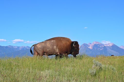 Bison, Buffalo, Montana, Mountains, West, Grass