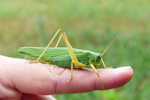 Grasshopper Green, Female, Insect, Animals, Finger