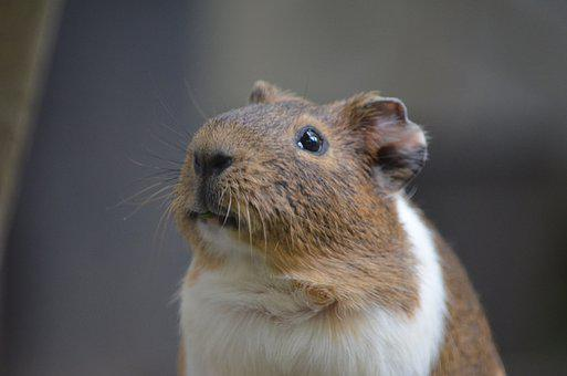 Animal, Guinea Pig, Hamster, Rodent, Pet, Whiskers