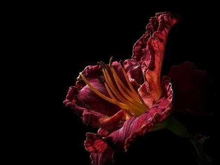 Daylily, Large-flowered Daylily, Hemerocallis, Flower