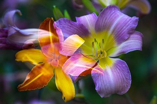 Lily, Flower, Plant, Bloom, Lilium, Bulb, Herbaceous