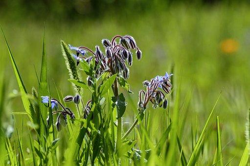 Borage, Plant, Meadow, Nature, Garden, Summer, Herbs