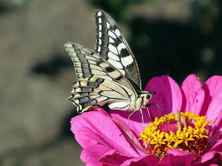 Butterfly, Insect, Paż Queen, Nature, Flower, Zinnia