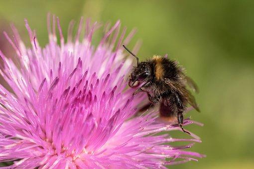 Hummel, Garden Bumblebee, Bombus Hortorum, Insect