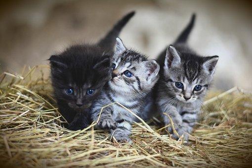 Cat, Young Animal, Kitten, Mackerel, Domestic Cat, Pet
