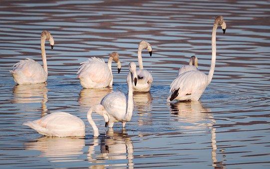 Flamingoes, Flamingos, Swan, Birds, Water, Lake, Nature