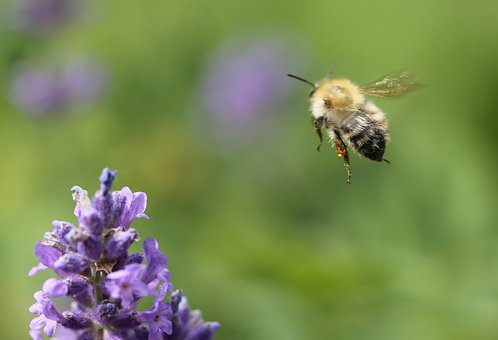 Bee, Lavender, Insect, Pollination, Fragrance