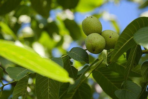 Nut, Walnut, Walnut Tree, Tree, Leaves, Fruit