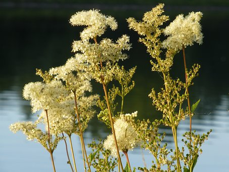 Meadowsweet, High Perennial, Roses, Medicinal Plant