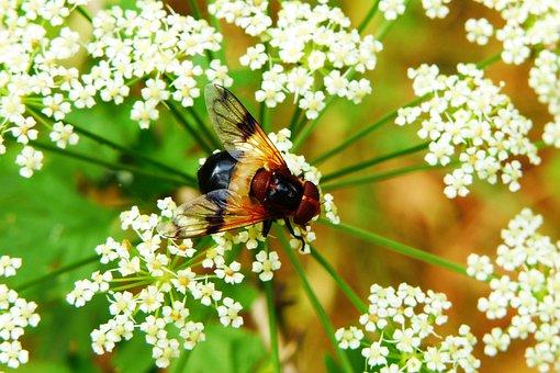 Trzmielówka Forest, Insect, Muchówki, Animals, Nature