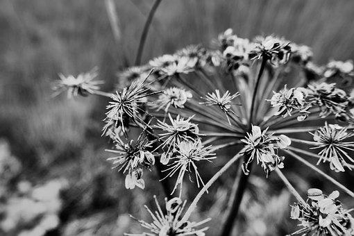 Black And White, Flower, Autumn, Plant, Nature