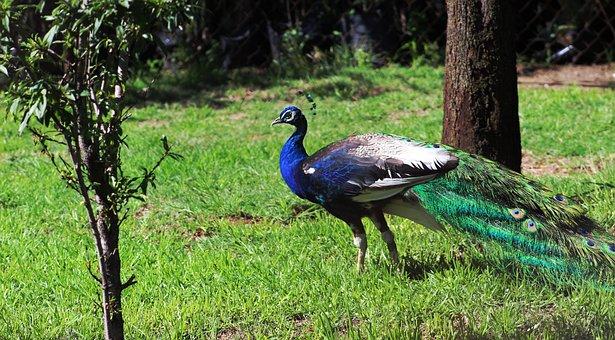 Nature, Peacock, Green, Day, Mexico, Environment, Fauna