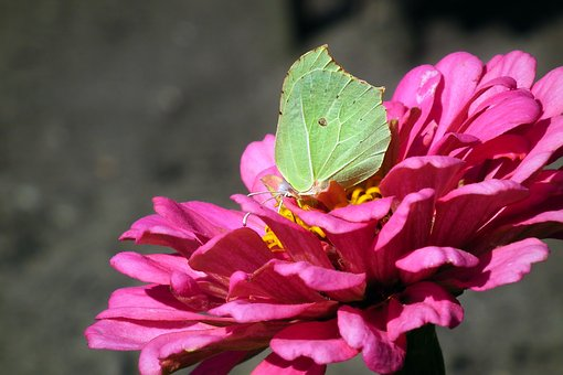 Butterfly, Flower, Zinnia, Insect, Summer, Nature