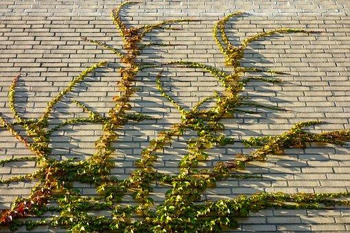 Ivy, Climber, Vine, Creeper, Brick Wall, Overgrown