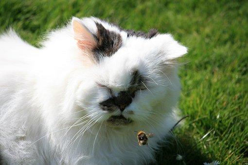 Persian, Cat, Bee, Garden, Grass, Patches