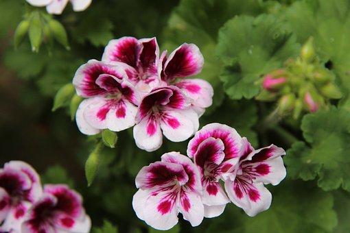 Geranium, Pelargonium, Flowers, Balcony