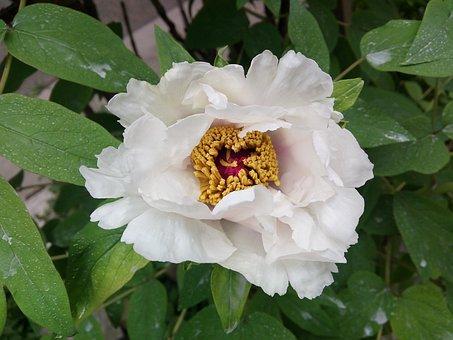 White Peony, Peony, Paeonia Lactiflora, Single Flower