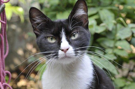 Cat, Black And White Cat, Animal, Pet, Feline