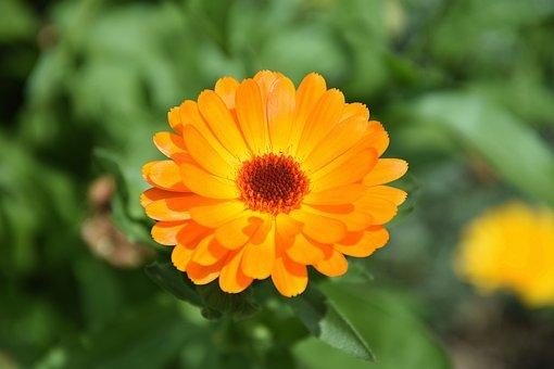 Marigold, Flower, Garden, Blossom, Bloom, Plant, Yellow