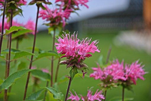 Flower, Pink, Nature, Plant, Summer, Spring, Petals