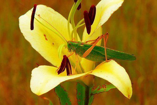 Grasshopper Green, Female, Insect, Flower, Lily, Plant