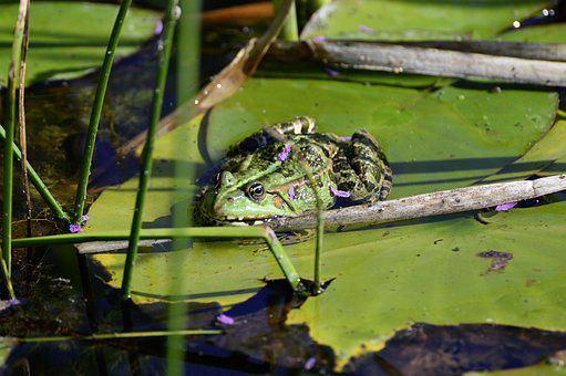 Pond, Water Frog, Frog Pond, Water Lily, Water