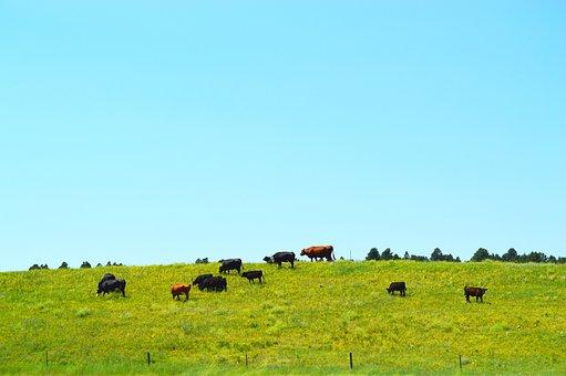 Cows, Grass, Rural, Farm, Livestock, Cattle