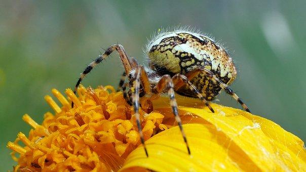 Spider, Insects, Arachnid, Pollen, Yellow
