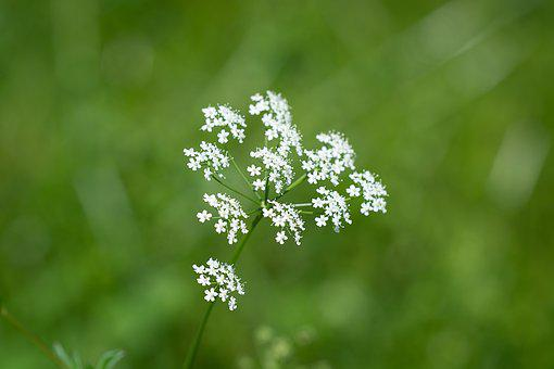 Plant, Flowers, White, Small Flowers, Nature, Summer
