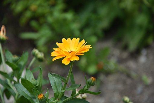 Marigold, Flower, Medicinal Plant, Yellow, Summer