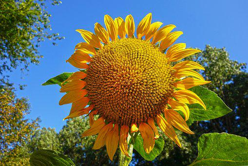 Sunflower, Flower, Plant, Helianthus, Common, Tall