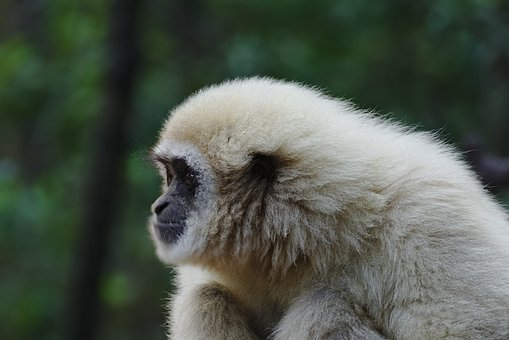 Forest, Animal, Trees, Ape, South Africa, Monkeyland