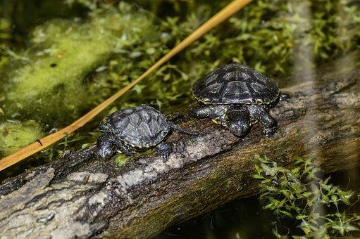 Marsh Turtle, Emys Orbicularis, Turtle, Pond, Reptile