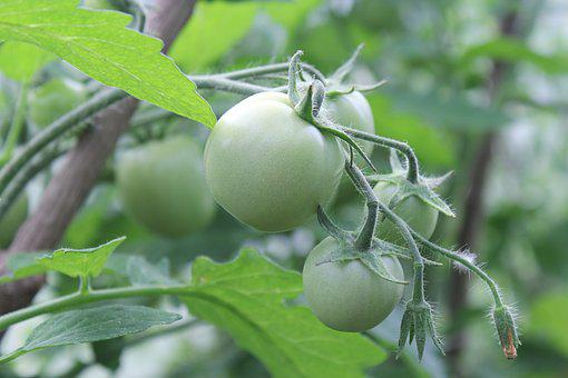 Tomatoes, Green, Dacha, Vegetable Garden, Greenhouse