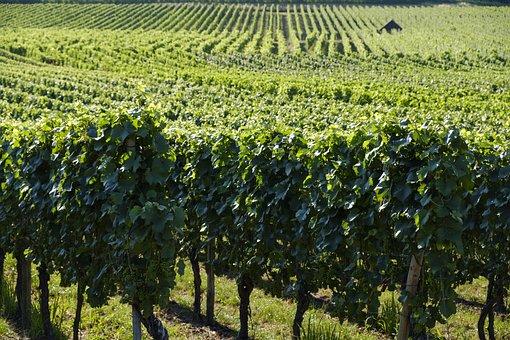 Grapes, Vines, Vine, Vines Stock, Wine, Vineyard