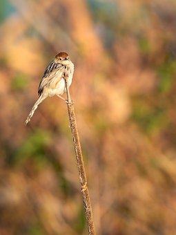 Lesser Swamp Warbler, Bird, Warbler, Nature, Wildlife