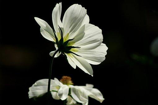 Flower, White, Plant, Blossom, Bloom, Nature, Summer