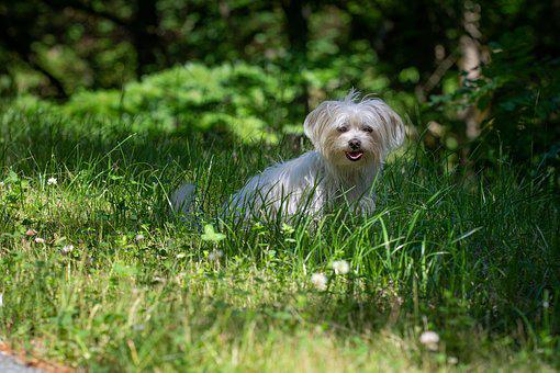 Dog, Meadow, Shadow, White, White Dog, Small, Small Dog