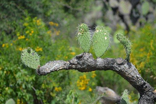 Thorns, Cactus, Wild, Nature