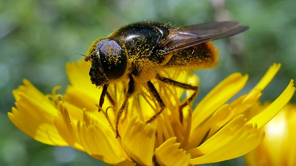 Fly, Insects, Pollen, Yellow, Flower