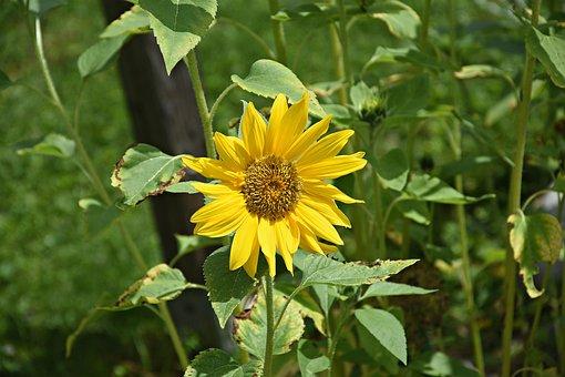 Sun Flower, Yellow, Flower, Nature, Blossom, Bloom