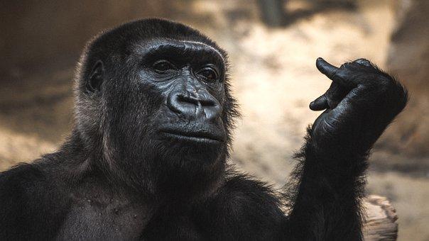 Monkey, Zoo, Animal, Animal World, Gorilla