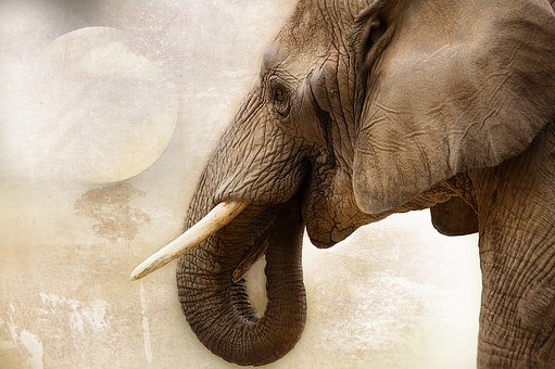 Elephant, Animal, Mammal, Ivory, Africa, Close Up