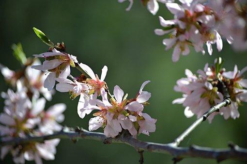 Madrid, Fifth Mills, Almond Blossom, Rosa, Almond Tree
