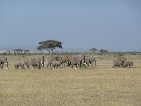 Elephant, Kenya, Wild, Wildlife, Africa, Animal, Travel