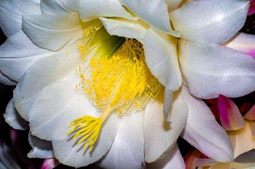 Flower, Cactus, Bloom, Nature, Botanical, Botany