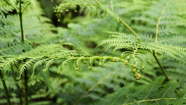 Scotland, Aberdeenshire, Dee-tal, Forest, Fern, Plant