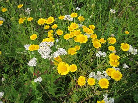 Cota Tinctoria, Golden Marguerite, Yellow Chamomile