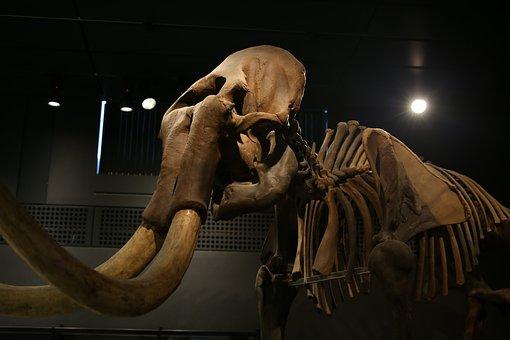 Elephant, Mammoth, Mamut, Tusk, Skeleton, Ivory, Mammal